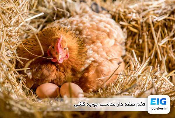 تخم نطفه دار مناسب جوجه کشی - جوجه کشی دات کام