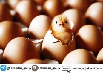 تخم نطفه دار مناسب جوجه کشی