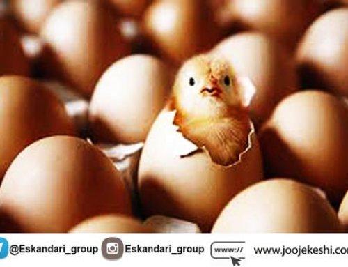 تخم نطفه دار مناسب جهت جوجه کشی از چه ویژگی هایی برخوردار است؟