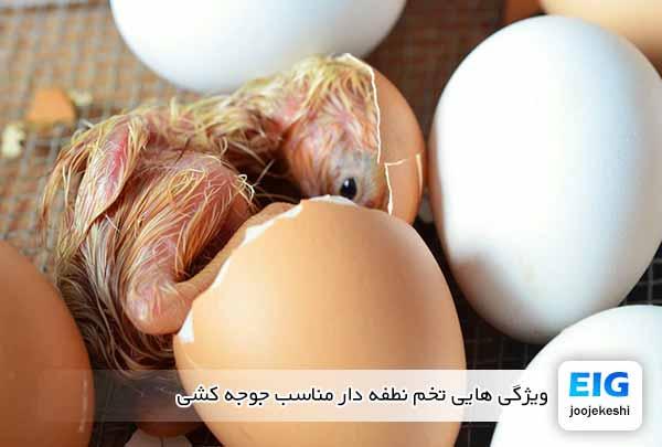 ویژگی هایی تخم نطفه دار مناسب جوجه کشی - جوجه کشی دات کام