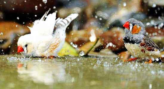 محیط پرورش پرنده فنچ