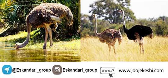 تعیین جنسیت شتر مرغ