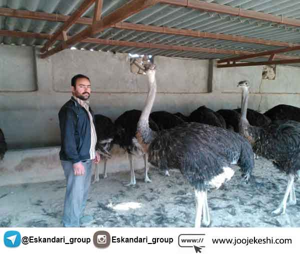 Place of breeding ostrich