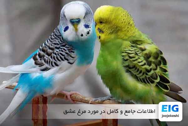 مرغ عشق و تاریخچه اهلی شدن آنها