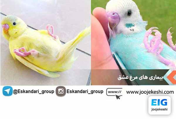 مریض شدن مرغ عشق