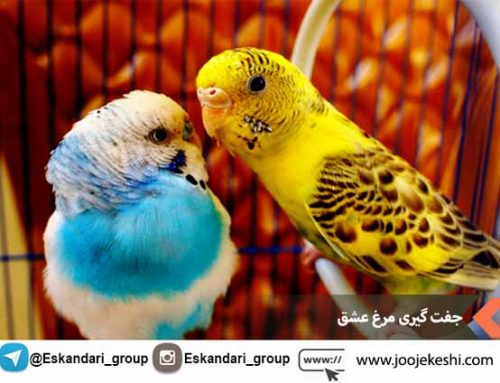 جفت گیری مرغ عشق – تکنیک های طلایی