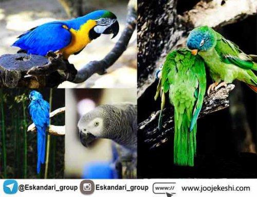 برترین نژاد های طوطی و ویژگی آنها | دانشنامه طوطی
