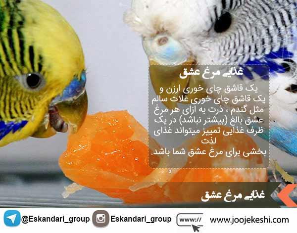 غذای مرغ عشق