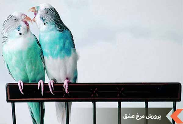 نگهداری مرغ عشق