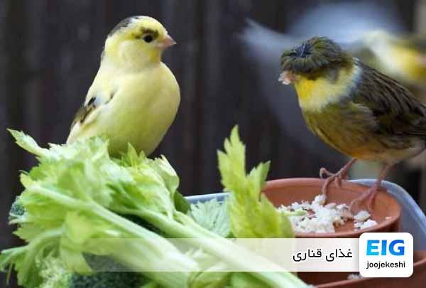 غذای قناری - جوجه کشی دات کام