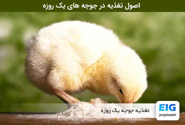تغذیه جوجه مرغ یک روزه در منزل