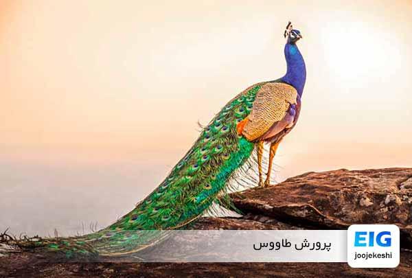 پرورش و نگهداری طاووس
