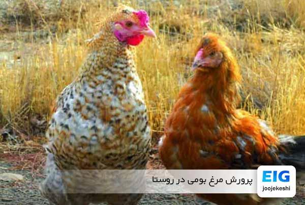 مرغ بومی در ایران