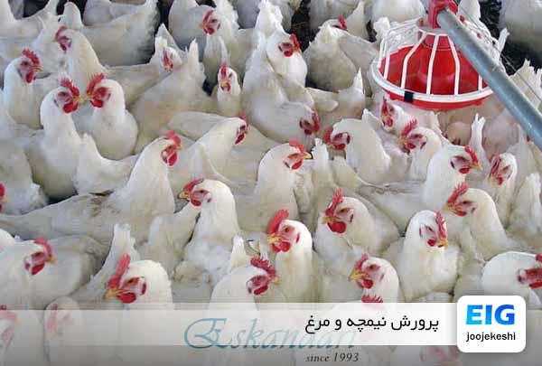 نیمچه مرغ