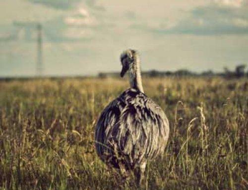 همه چیز درباره جوجه کشی شترمرغ | نکته های مهم و حیاتی
