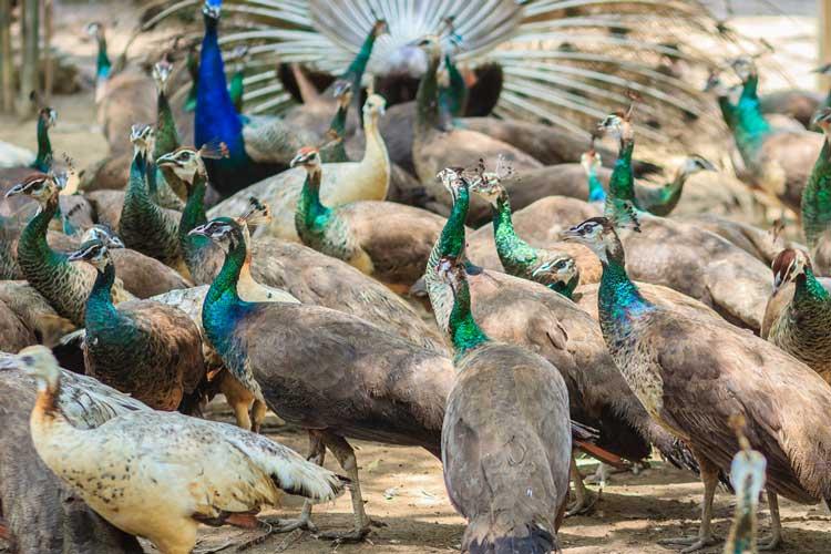 مزرعه پرورش طاووس