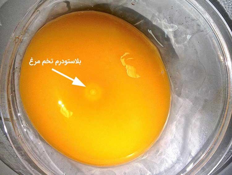 بلاستودرم تخم مرغ