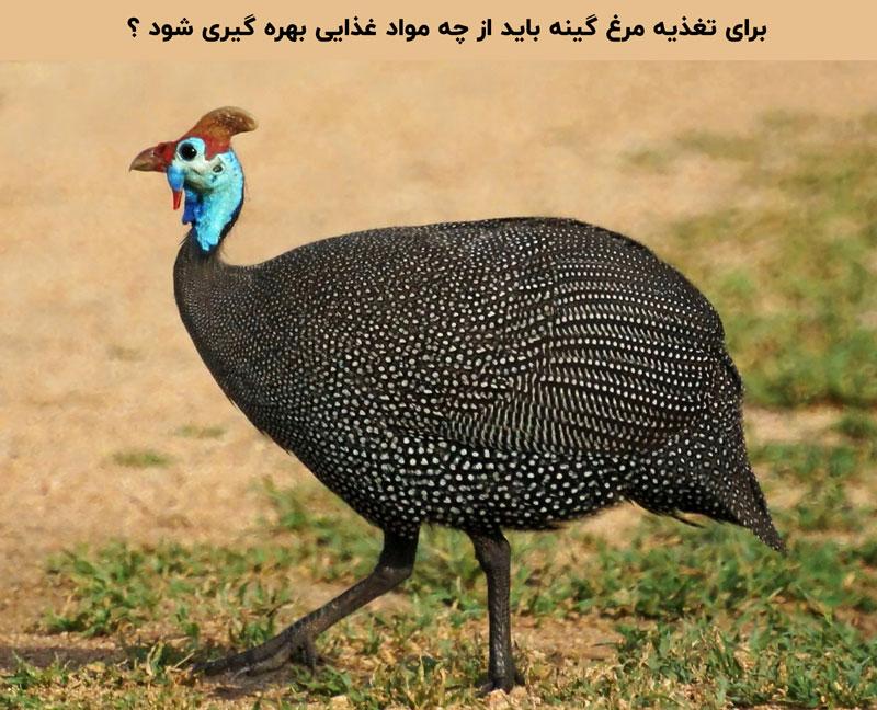 پرورش مرغ شاخدار