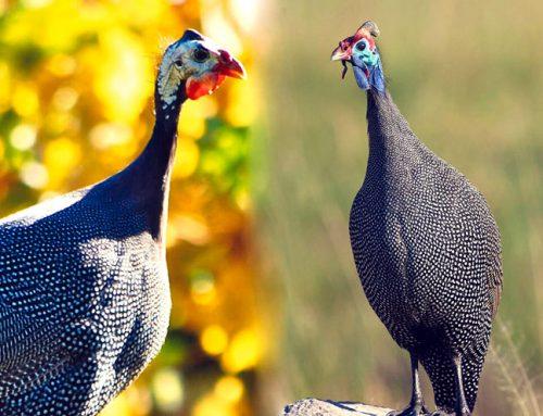 پرورش ، نگهداری و تغذیه مرغ شاخدار