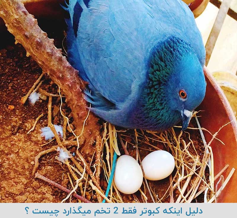 کبوتر و دو تخم گذاشتن