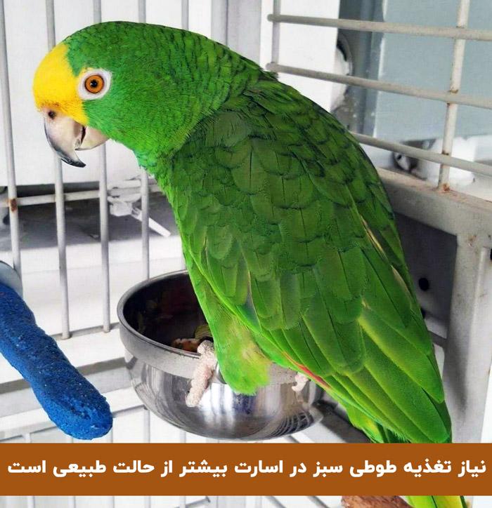 تغذیه طوطی سبز