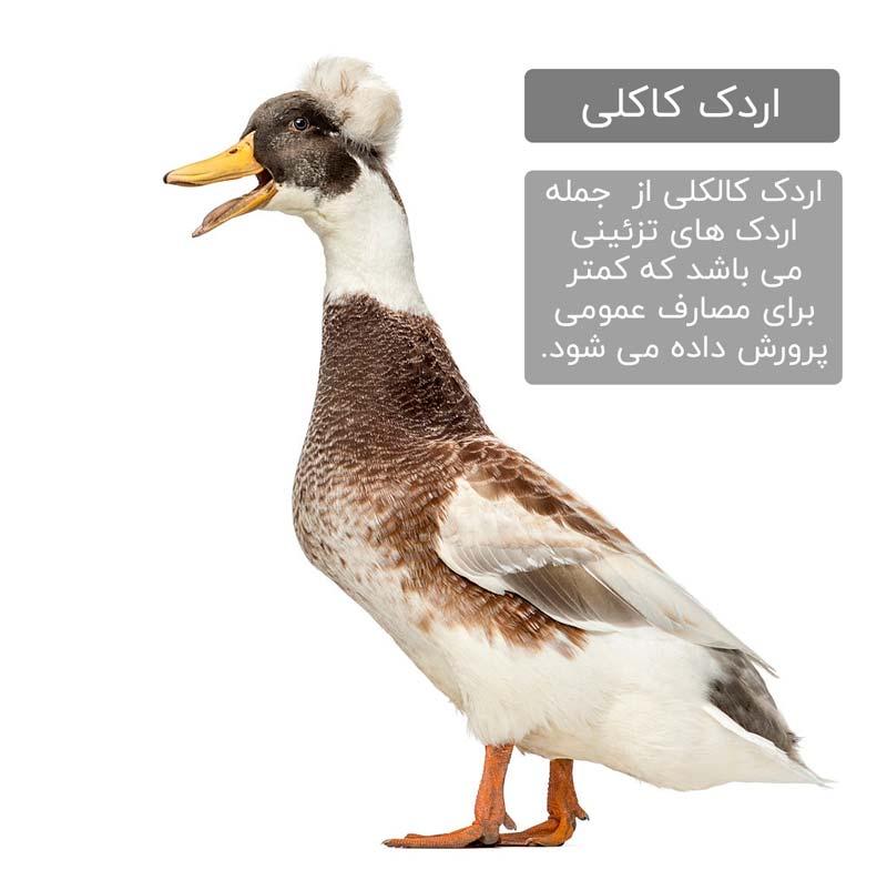اردک تزئینی کاکلی