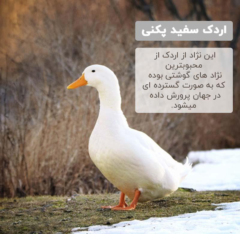 اردک سفید پکنی