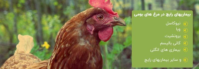 بیماریهای مرغ