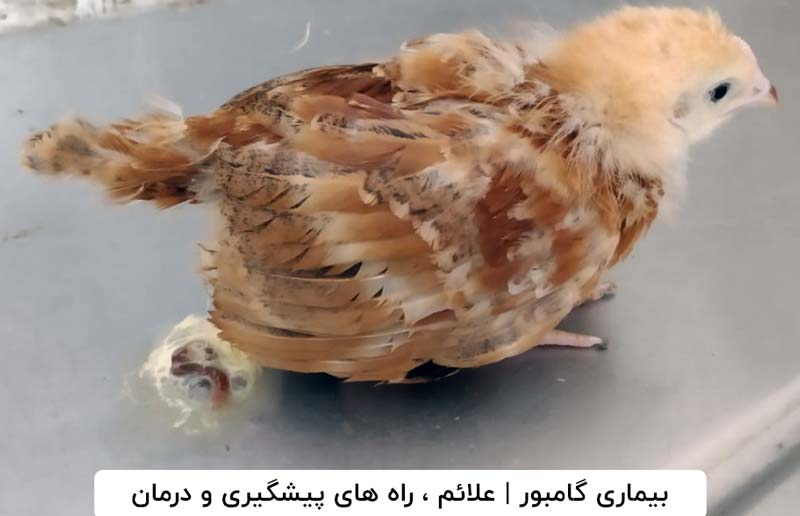 بیماری گامبور پرندگان بومی