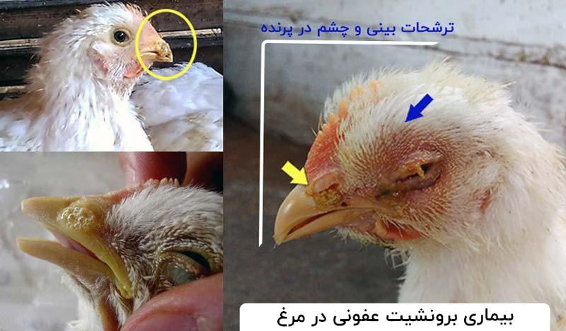 برونشیت در مرغ