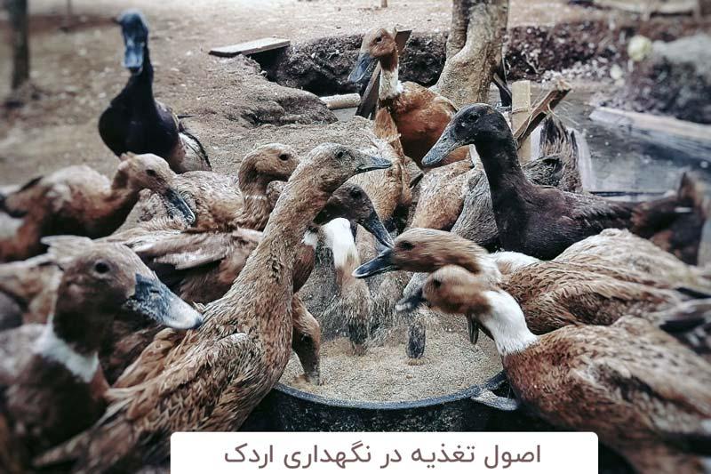 تغذیه اردک