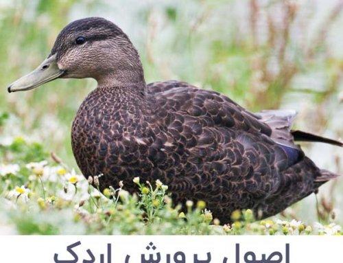 پرورش اردک | بهترین تغذیه ، محل نگهداری و جوجه کشی