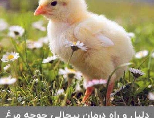 راه های درمان جوجه مرغ بی حال چیست ؟