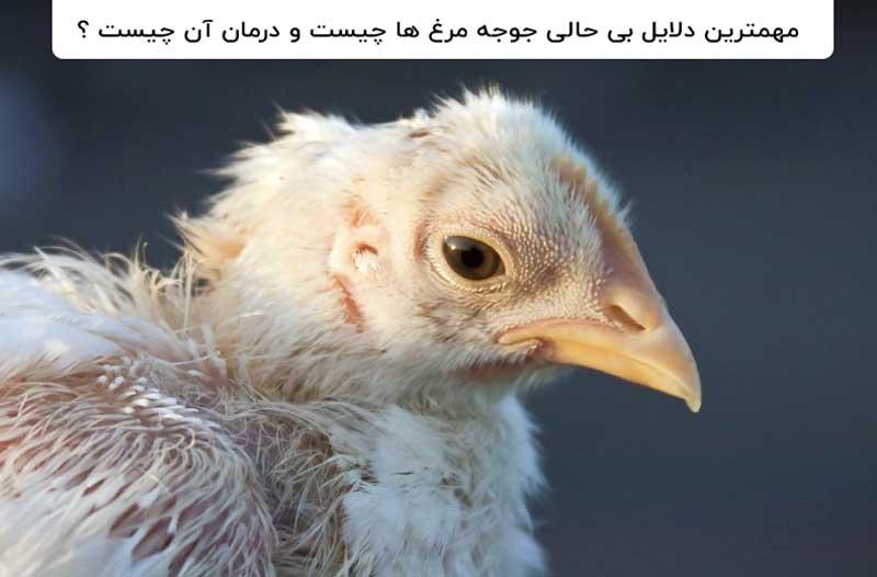 دلایل بیحالی جوجه مرغ ها