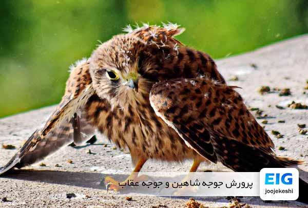 پرورش جوجه شاهین و جوجه عقاب