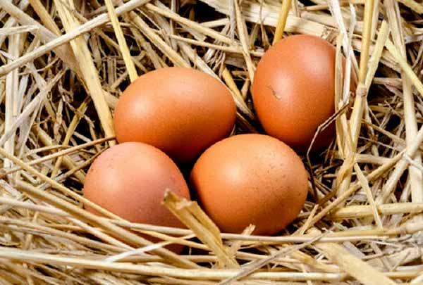 تعداد تخم گذاری بیشتر