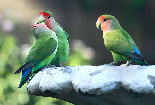 دعوای طوطی برزیلی ها با هم