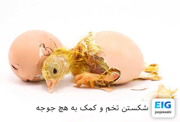 کمک به خروج جوجه از تخم