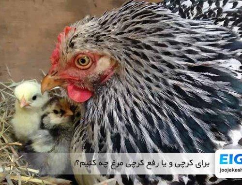 چگونه مرغ خانگی را زودتر کرچ کنیم به همراه آموزش رفع کرچی مرغ