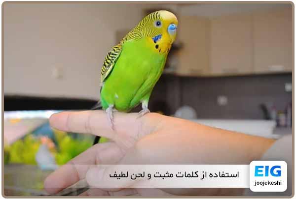 آموزش دست آموز کردن مرغ عشق - جوجه کشی دات کام