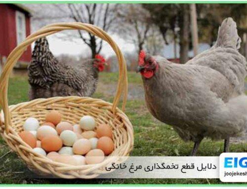 13 علت که باعث قطع ناگهانی تخمگذاری مرغ خانگی میشود