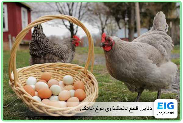 علل توقف تخمگذاری مرغ روستایی و بومی - جوجه کشی دات کام