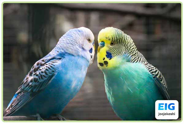 مرغ عشق ممکن است باعث ایجاد آلرزی شود - جوجه کشی دات کام