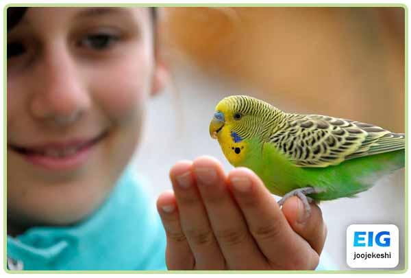 عوارض نگهداری مرغ عشق در منزل برای کودکان- جوجه کشی دات کام