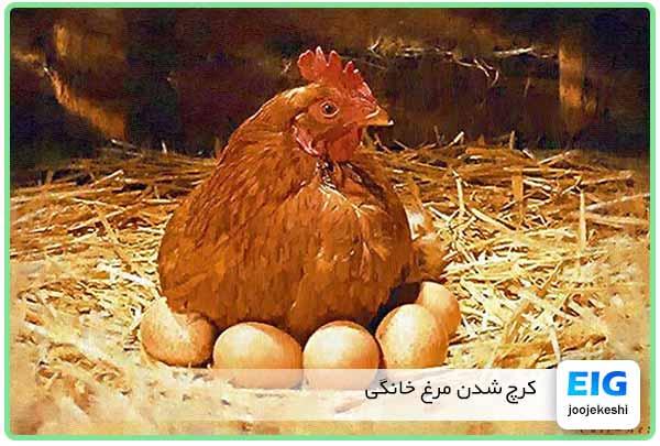 کرچ شدن مرغ روستایی و خانگی تخم گذاری را قطع میکند - جوجه کشی دات کام