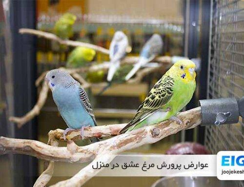 نگرانی های نگهداری مرغ عشق در منزل