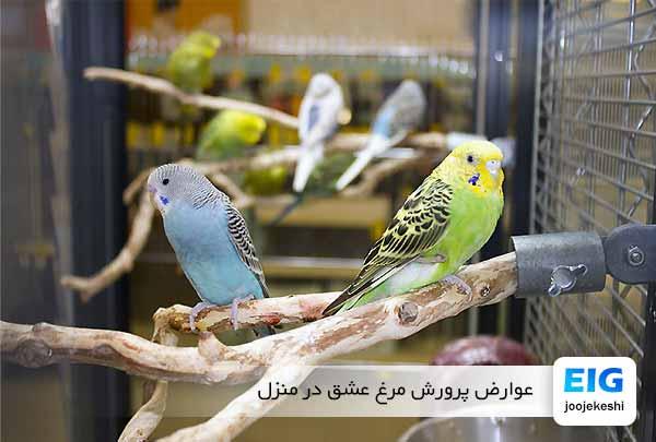 عوارض پرورش مرغ عشق در منزل - جوجه کشی دات کام