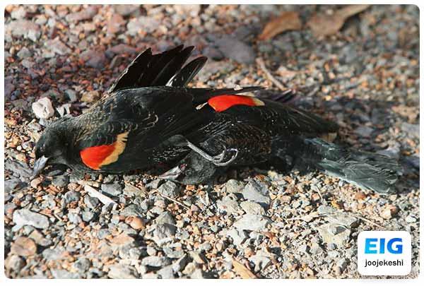 مرگ پرنده در اثر استنشاق گازهای سمی