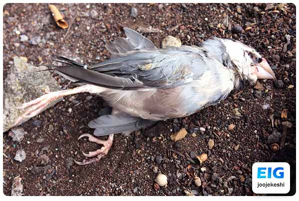 مرگ پرنده در اثر جویدن اشیاء و غذای آلوده