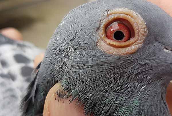 بیماری های مهم کبوتر نیوکلاس